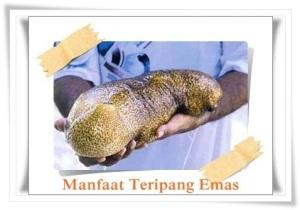 Khasiat teripang emas yang terkandung dalam JELLY GAMAT GOLD-G sebagai pengobatan ginjal bocor tradisional alami nan herbal